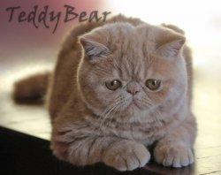Gold Coast Cat Clubs Breeder Listings